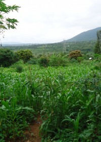 Baringo, Kenya, het maisveld bij de Doughlas familie
