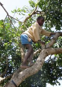 Mango's uit de bomen schudden voor de gasten, Baringo Kenya, Circle4life
