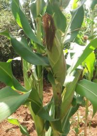 Maisplant, zaden en kunstmest project, rurale gebieden, Kenia, Circle4life