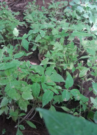 Tomatenplantjes, zaden en kunstmest project, rurale gebieden, Kenia, Circle4life